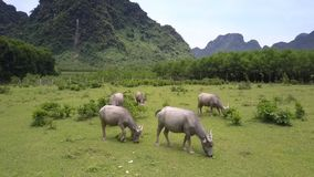 Landschap met waterbuffels en van de bergenvogel oogmening stock footage