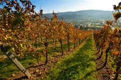Landschap met wijngaard Stock Afbeeldingen