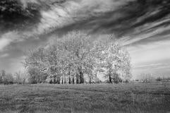 Landschap met zilverachtige populieren. Zwart-wit Stock Fotografie