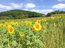 Landschap met zonnebloemen Stock Fotografie
