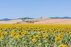 Landschap met zonnebloemen, Toscanië Stock Fotografie