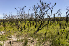 Landschap na bushfire Booderee nationaal park NSW australië Royalty-vrije Stock Foto