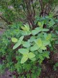Landschap Na de regen, waren er dalingen van water op de bladeren van de struik De groene bladeren hebben heldere kleuren Royalty-vrije Stock Afbeelding