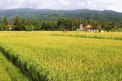 Landscape with rice fields, agricultural industries in Lovina, Bali, Indonesia Royalty Free Stock Photos