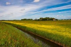Landschap in Texel met geel bloeiend ranonkelgebied en kanaal - Nederland royalty-vrije stock afbeelding