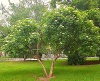 Landschap Twee bomen die naast elkaar, als minnaars worden gevestigd Allebei zijn behandeld met witte bloemen Rond hen is groen Stock Fotografie