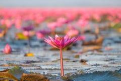 Landschap van beroemde rode lotusbloemoverzees in Thailand Stock Fotografie