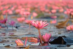 Landschap van beroemde rode lotusbloemoverzees in Thailand Stock Foto