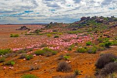 Landschap van bloemen en kleine heuvels Noordelijke Kaap royalty-vrije stock afbeeldingen