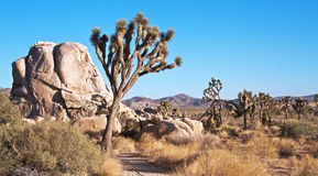 Landschap van Bomen Joshua en Rotsen Stock Foto