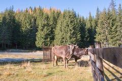 Landschap van Bucegi-Bergen met koeien Stock Foto's