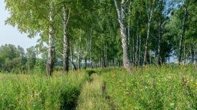 Landschap van de berk het boszomer Breed formaat Stock Foto's