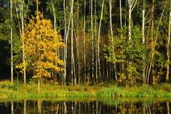 Landschap van de herfstbos met oranje bomen en gebladerte Royalty-vrije Stock Afbeeldingen