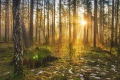 Landschap van de lentebos in backlight Ochtendstralen van zon in kader bij dageraad in schilderachtige bos Natuurlijke aard Stock Afbeeldingen