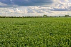 Landschap van groen gewas, tarwe, gerst Stock Fotografie