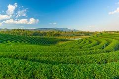 Landschap van groen theegebied Royalty-vrije Stock Afbeeldingen