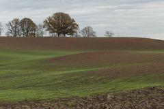 Landschap van groene tarwespruiten op landbouwgebied en achtergrond met eiken bomen Stock Afbeelding