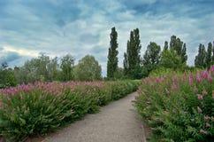 Landschap van het Bloeien violette spirea Stock Fotografie