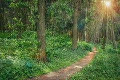 Landschap van het lopen van weg in groen de zomerbos royalty-vrije stock afbeelding