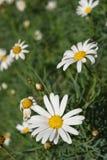 Landschap van madeliefjebloemen op de zomer Royalty-vrije Stock Foto