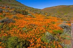Landschap van oranje madeliefjes stock foto's