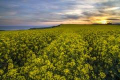Landschap van raapzaadgebied in zonsondergang Royalty-vrije Stock Foto's