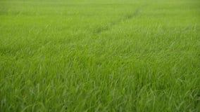 Landschap van rijststelen die in de wind slingeren stock footage