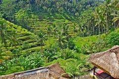 Het padieveld van het terras van ubud Bali Stock Foto's