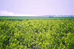 Landschap van wijngaard Stock Foto