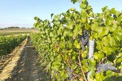 Landschap van wijngaard stock foto's
