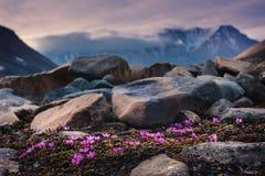 Landschapsaard van de bergen van Spitzbergen Longyearbyen Svalbard op een polaire dag met noordpoolbloemen in de zomer Stock Fotografie