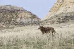 Landschapsbeeld van coyote met heuvels op achtergrond Royalty-vrije Stock Afbeeldingen