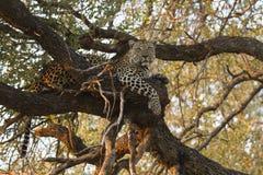 Landschapsfoto die van mannelijke luipaard in grote boom rusten Stock Foto's