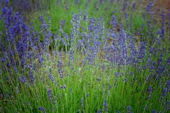 Landschapsfoto van een Lavendelgebied in Bloei Stock Foto