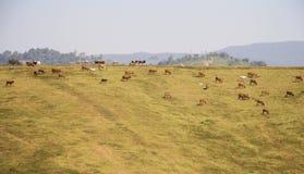 Landschapskoeien die op de heuvel weiden Royalty-vrije Stock Foto's