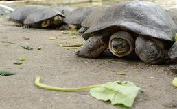 Landschildkröte, Schildkröte Lizenzfreie Stockfotografie