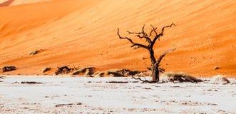 Landscpe sec désolé et arbres morts d'épine de chameau dans la casserole de Deadvlei avec le sol criqué au milieu du rouge de dés Photos libres de droits
