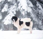 Landseer στο χειμερινό λευκό χιονιού που παίζει την καθαρή φυλή Στοκ εικόνες με δικαίωμα ελεύθερης χρήσης