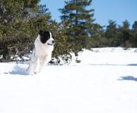 Landseer στο χειμερινό λευκό χιονιού που παίζει την καθαρή φυλή Στοκ Εικόνες