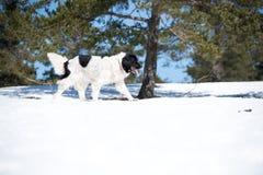 Landseer στο χειμερινό λευκό χιονιού που παίζει την καθαρή φυλή Στοκ εικόνα με δικαίωμα ελεύθερης χρήσης