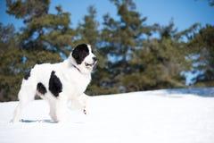 Landseer dans le blanc d'hiver de neige jouant la race pure photo libre de droits