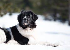 Landseer dans le blanc d'hiver de neige jouant la race pure images stock