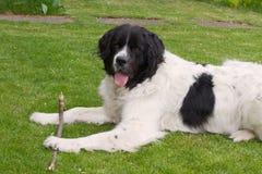 Landseer dog Royalty Free Stock Photography