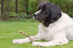 Landseer dog Stock Images