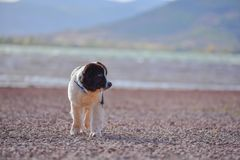 Landseer dog puppy Royalty Free Stock Image