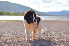 Landseer dog puppy in garde Stock Image