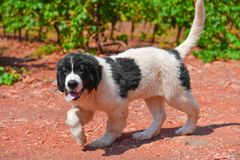 Landseer dog puppy in garden Royalty Free Stock Image