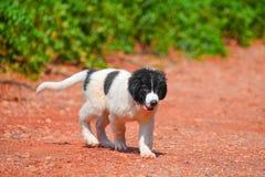 Landseer dog puppy Stock Photos