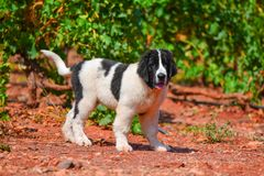 Landseer dog puppy Stock Photo