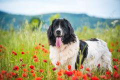 Landseer dog pure breed in poppy field flower. Landseer dog pure breed coquelicot flower sun beautiful landscape newfoundland isolated outdoor royalty free stock photography
